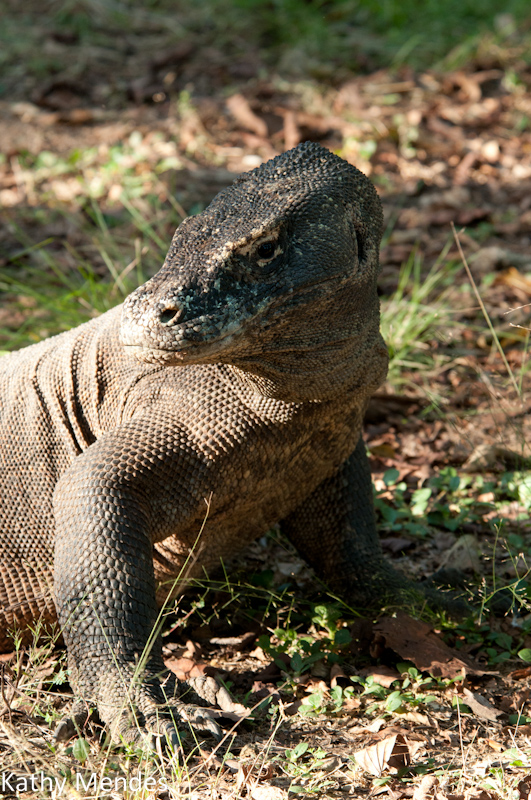 Another View of a Komodo dragon.