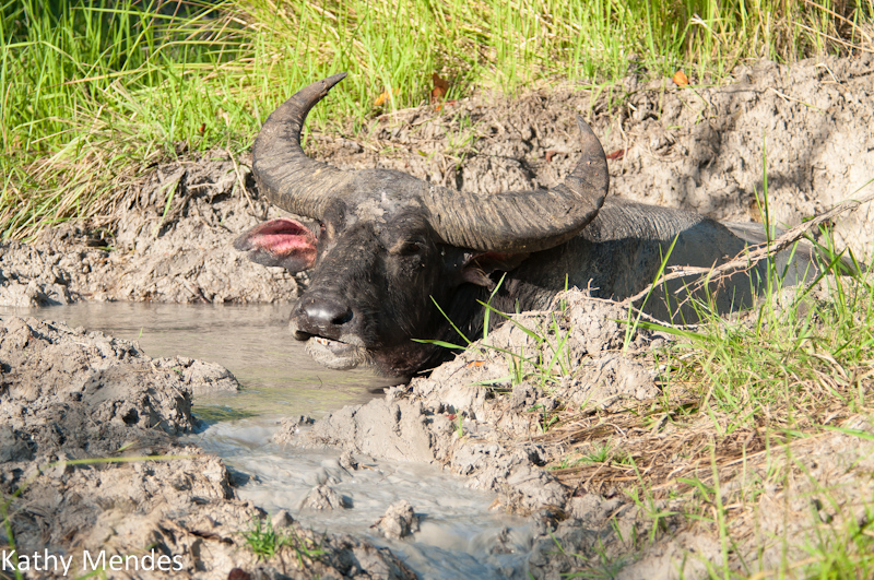 A water buffalo almost completely covered by mud and water.