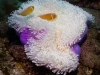 How about this purple anemone? Pretty isn't it?