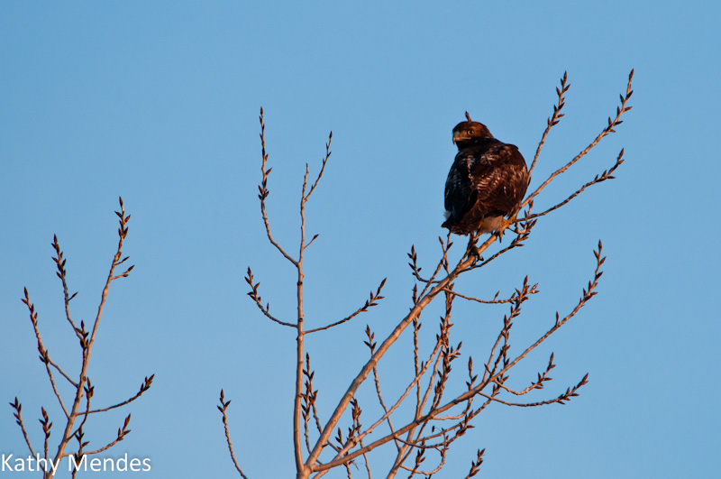 Red-tailed Hawk in Tree at Sunset