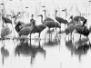 Sandhill Cranes Reflect in Pond