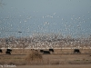 Thousands of Snow Geese Descend Upon the Cow Pasture