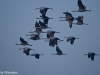 Sandhill Cranes Fly in Loose Formation