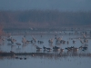 Sandhill Cranes, Ducks and Geese in the Early Morning Fog