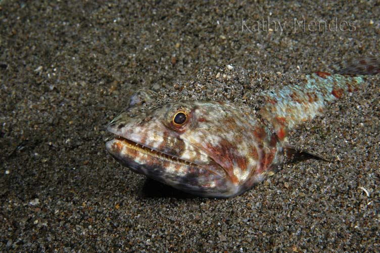 Lizardfish in the Sand