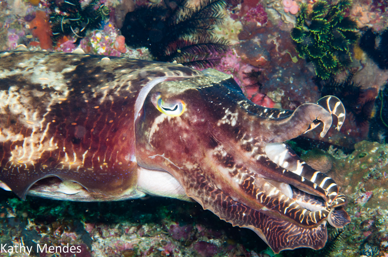 Big Cuttlefish Displays for Another