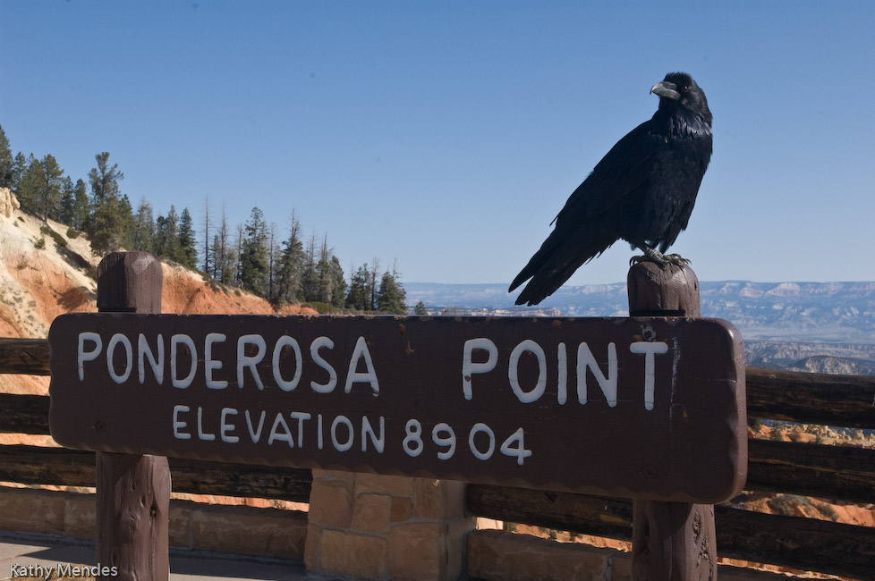 Raven at Ponderosa Point, Bryce Canyon National Park