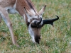 A Pronghorn Antelope Grazes in a Pasture