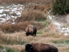 Bison grazing just below Mammoth\'s hot springs which keep the snow from sticking.