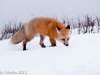 A beautiful red fox hunts near the river, and roads edge.