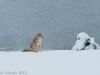 A coyote waits for the right moment to spring into the muskrat\'s nest.