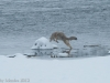 A coyote leaps into a muskrat den.