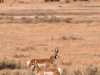 Pronghorn antelope male and female.