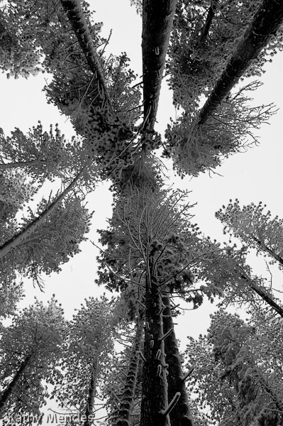 Looking up at snow covered tree branches.