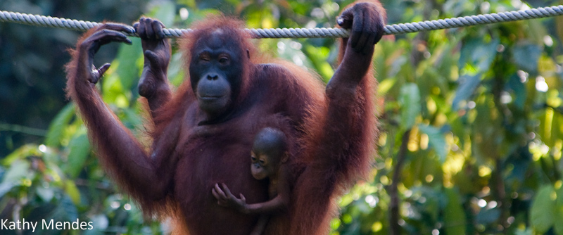 Mom and two-month old baby orang utan at Sepilok Orang Utan Rehabilitation Center.