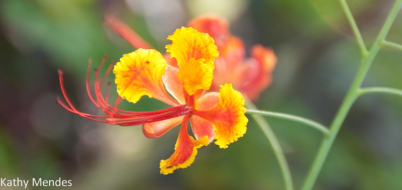 One of the beautiful orchids in the garden at Sepilok Nature Resort.