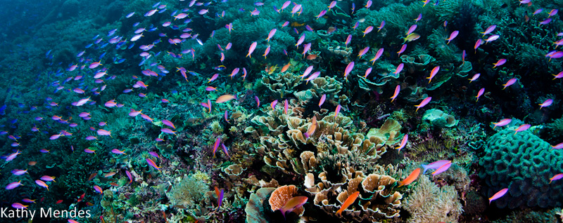 Beautiful Komodo Reef and Purple Anthias