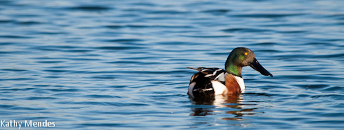 A Northern Shoveler shows off his beautiful colors.