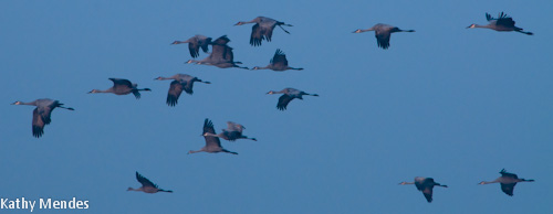 Sandhill Cranes are awkward yet graceful when flying.
