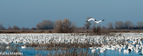 Thousands of Snow Geese Sleep in the Ponds