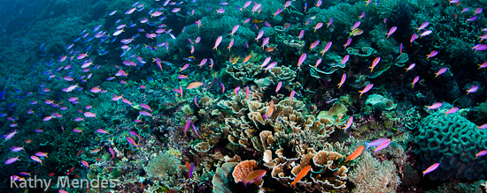 Purple Anthias and Healthy Komodo Reef