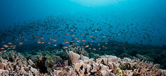 Reef Fish Performing Fish Ballet Above the Coral