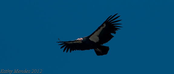 California Condor Soaring Over the Big Sur Coast