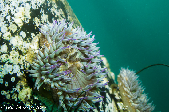 Purple Tipped Anemone on a Piling