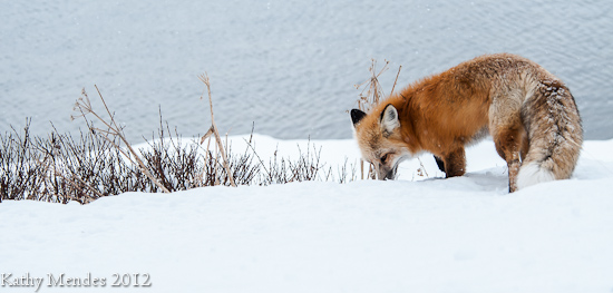 Beautiful Red Fox In the White Snow