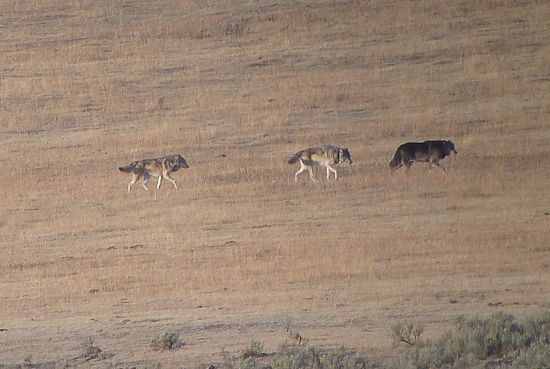 A fe members of the Lamar Valley pack thanks to Doug McLaughlin.