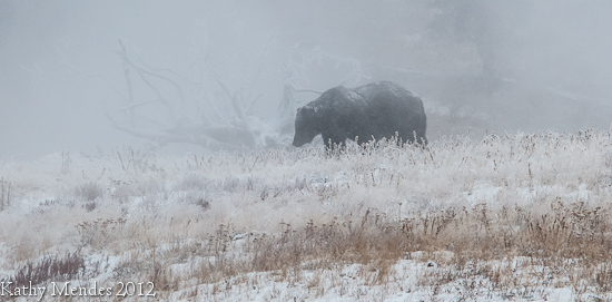 Yellowstone Grizzly Bear Walking in a Snowstorm