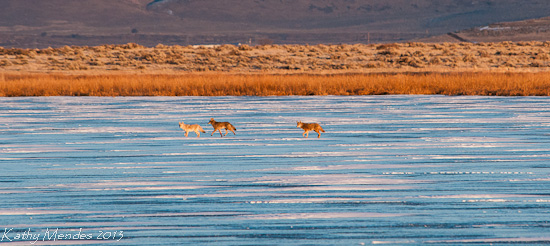 Coyotes cross the frozen lake in the late afternoon.
