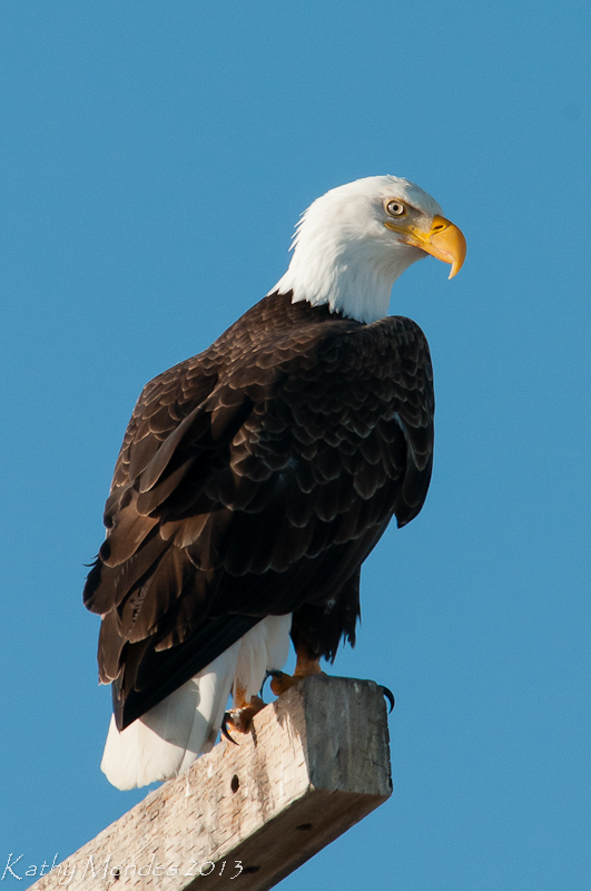 Bald Eagle at the Tule Lake Reserve