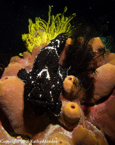 Black Giant Frogfish